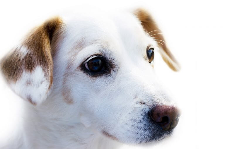 jack-russell-friendly-dog